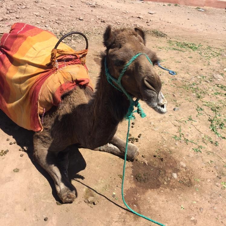 promenade_dromadaire_adresses_marrakech
